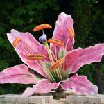 H13 Lilium rubrum_1